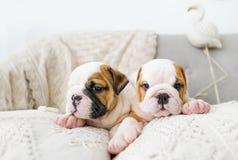 2 малых щенят английского бульдога лежат на софе и на подушке стоковое фото rf