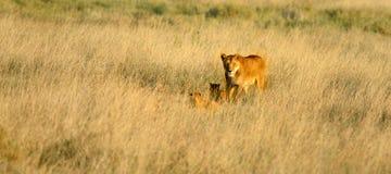 Малыши женского льва ведущие Стоковая Фотография RF