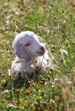 Малыш козочки Ангора Стоковое Фото