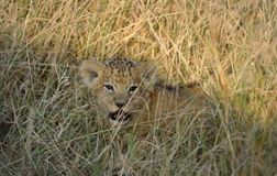 Малыш льва Стоковое Изображение