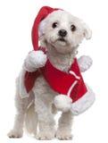 мальтийсный носить santa обмундирования Стоковые Фотографии RF