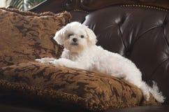 мальтийсный щенок ослабляя стоковое фото rf