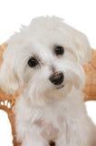 мальтийсный щенок Стоковая Фотография RF