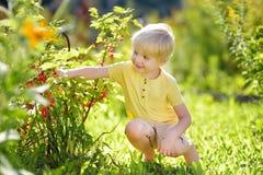 Мальчик комплектуя красные смородины в отечественном саде на солнечный день Деятельности при и потеха Outdoors для детей летом стоковые фото