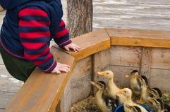 Мальчик малыша поданный и играть и взгляд на утятах в petting зоопарке стоковые изображения rf
