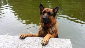 Мальчик немецкой овчарки наслаждается прудом Стоковые Изображения RF