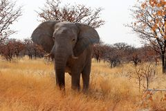 Мальчик слона - Намибия Африка стоковые изображения