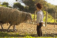 Мальчик смотря овец стоковая фотография rf