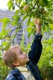 мальчик яблок Стоковые Изображения