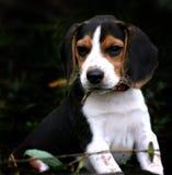 мальчик beagle Стоковая Фотография RF