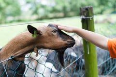 Мальчик petting козочка Стоковая Фотография