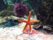 мальчишка starfish аквариума Стоковое Фото