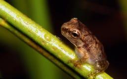 Малюсенькая лягушка вала на стержне травы Стоковые Фото