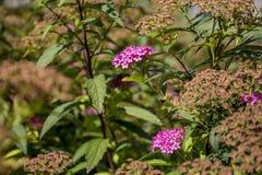 малюсенькое цветков розовое Стоковое Изображение