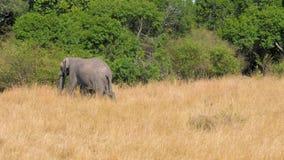 Мама африканского слона покрывает ее младенца и идет на саванну около кустов сток-видео