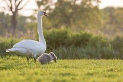 Мама и молодой лебедь безгласного лебедя Стоковое Изображение