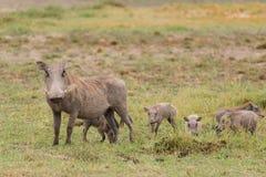 Мама и младенцы Warthog стоковая фотография