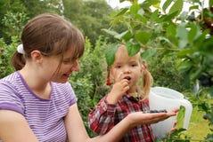 Мама и дочь в саде собирают голубики стоковое фото