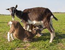 Мама козы кормит ее 2 детей грудью Стоковые Изображения