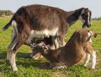 Мама козы кормит коз грудью 2 дет Стоковое Изображение