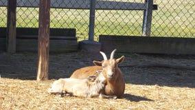 Мама & младенец козы стоковые фотографии rf