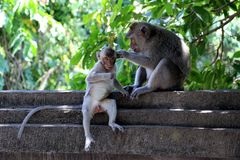 Мама обезьяны заботит для ее младенца - Бали Азии стоковые фото