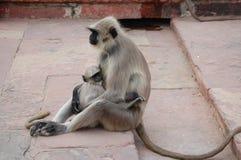 Мама обезьяны Стоковое Изображение