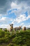 Мама овец и ее овечка стоковые фото