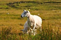 Мама Овца & овечка Стоковые Фотографии RF