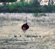 Мама страуса с цыпленоками Танзанией Томом Wurl Стоковые Изображения