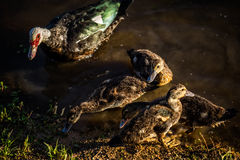 МАМА утка с младенцами стоковые фото