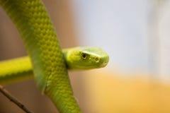 мамба dendroaspis angusticeps зеленая Стоковые Изображения