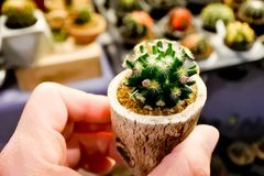 Маммиллярия Shiedeana, красивый кактус стоковое изображение rf