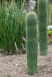 Маммиллярия кактуса Стоковое Изображение