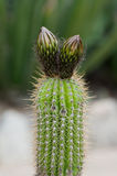 Маммиллярия кактуса Стоковые Изображения