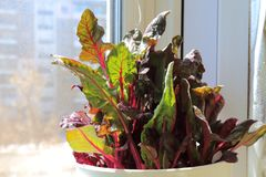 Мангольд завод витамина растя на windowsill на balc Стоковые Фото