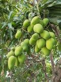 Мангоы на дереве манго Стоковые Фото