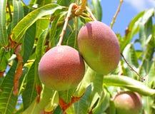 мангоы Стоковое Изображение RF