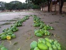 мангоы Стоковая Фотография RF