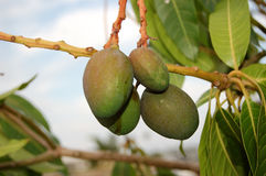 манго зрея Стоковые Фото