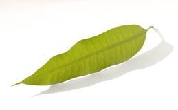 манго листьев Стоковое фото RF