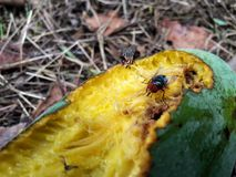 Манго манго мухы Стоковые Фотографии RF