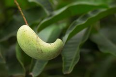 Манго на дереве Стоковое фото RF