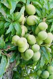 Манго на деревом манго Стоковые Изображения RF