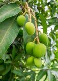 Манго на дереве Стоковое Изображение RF
