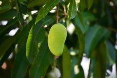 Манго на дереве Стоковая Фотография RF