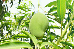 Манго на деревом манго Стоковые Фотографии RF