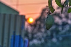 Манго сфокусировано и в предпосылке солнце стоковое изображение rf