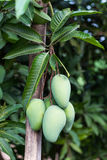 Манго с зелеными листьями Стоковое Фото