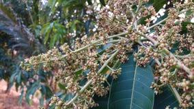 Манго цветет ждать свежих фруктов стоковые фотографии rf